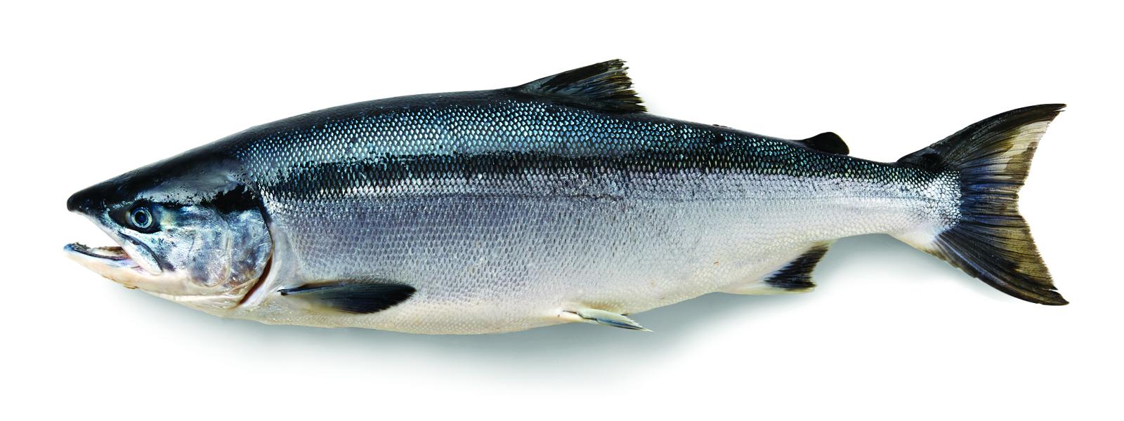 Alaska sockeye salmon
